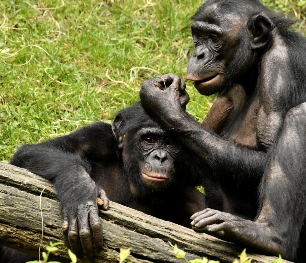 12-jeff-mccurry-proyecto-gran-simio